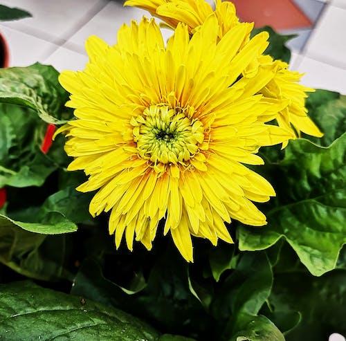 Gratis stockfoto met bloemen, chrysant, gele bloem, gele bloemen