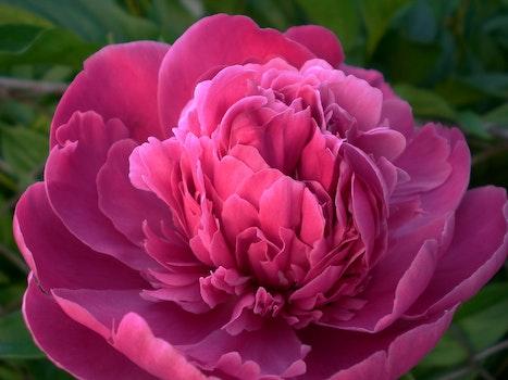 Pink Rose Flower Blooming during Daytime