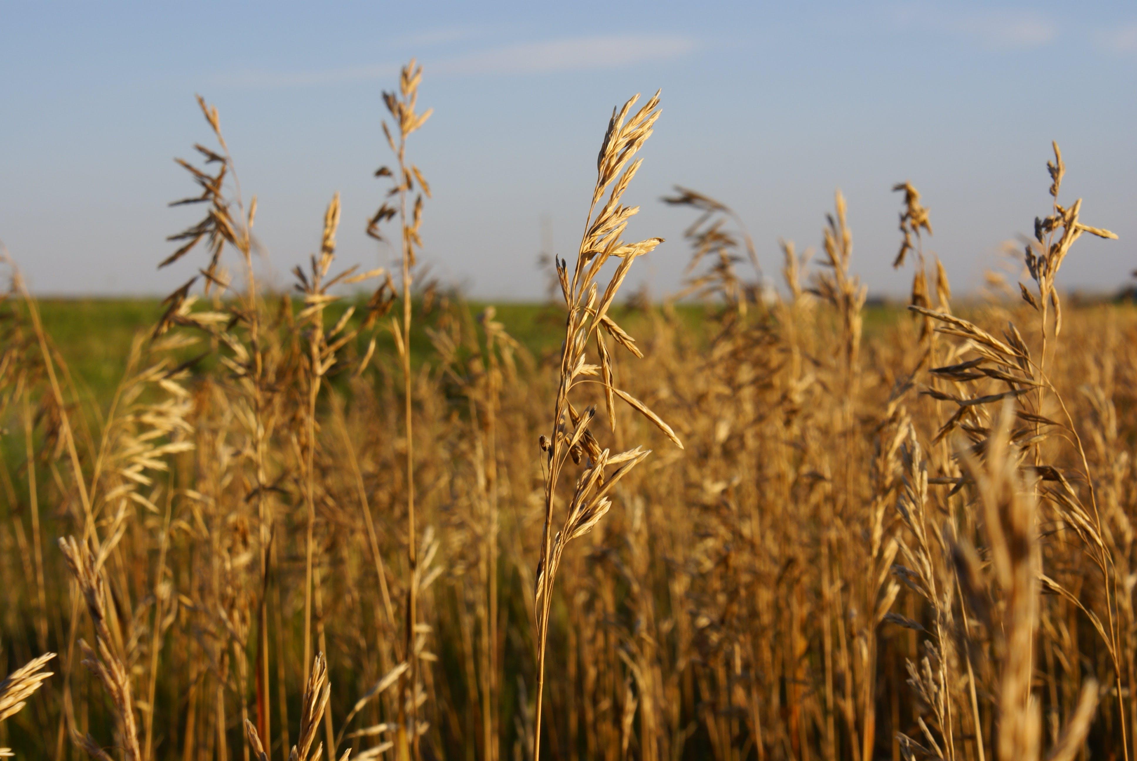 Kostenloses Stock Foto zu grasland, weizengrass