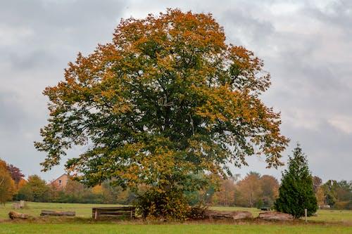 Free stock photo of autumn, tree