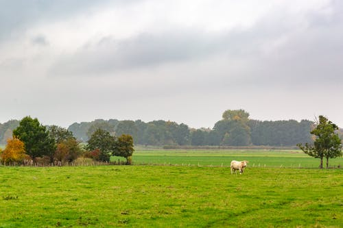 White and Black Cow on Green Grass Field Under White Clouds