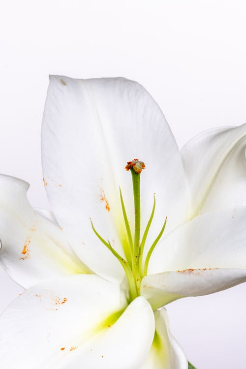 Blooming flower with tender petals and green pistil with pleasant aroma among stamens on white background