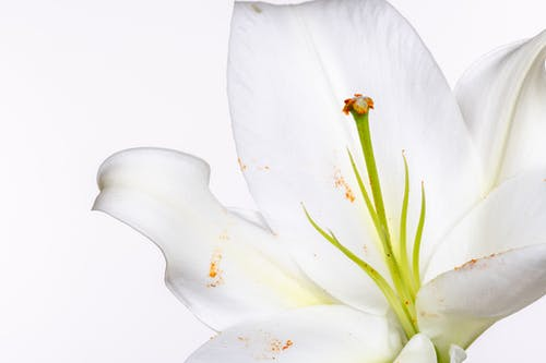 Blooming lily with delicate petals and green pistil