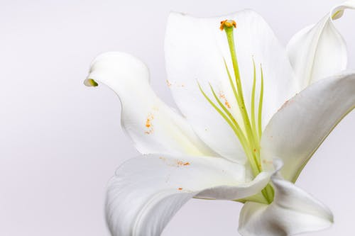 Blossoming lily with green pistil and stamens among curved petals with pollen on white background