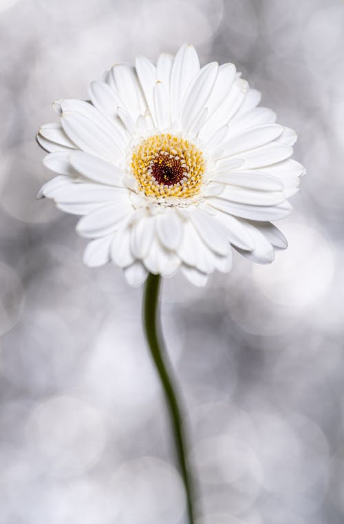 Blooming Gerbera with tender petals on light background
