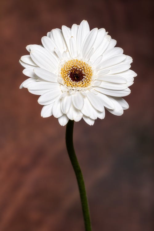 Blossoming Gerbera with delicate petals and pleasant aroma