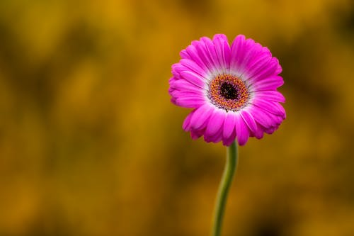 Blossoming pink Gerbera with tender petals in summer