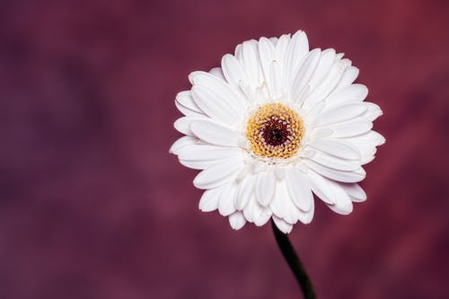 Blossoming white flower with gentle oval shaped petals and yellow center on blurred background