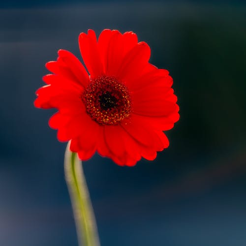Bright tropical red flower with delicate petals and pleasant aroma on dark blurred background