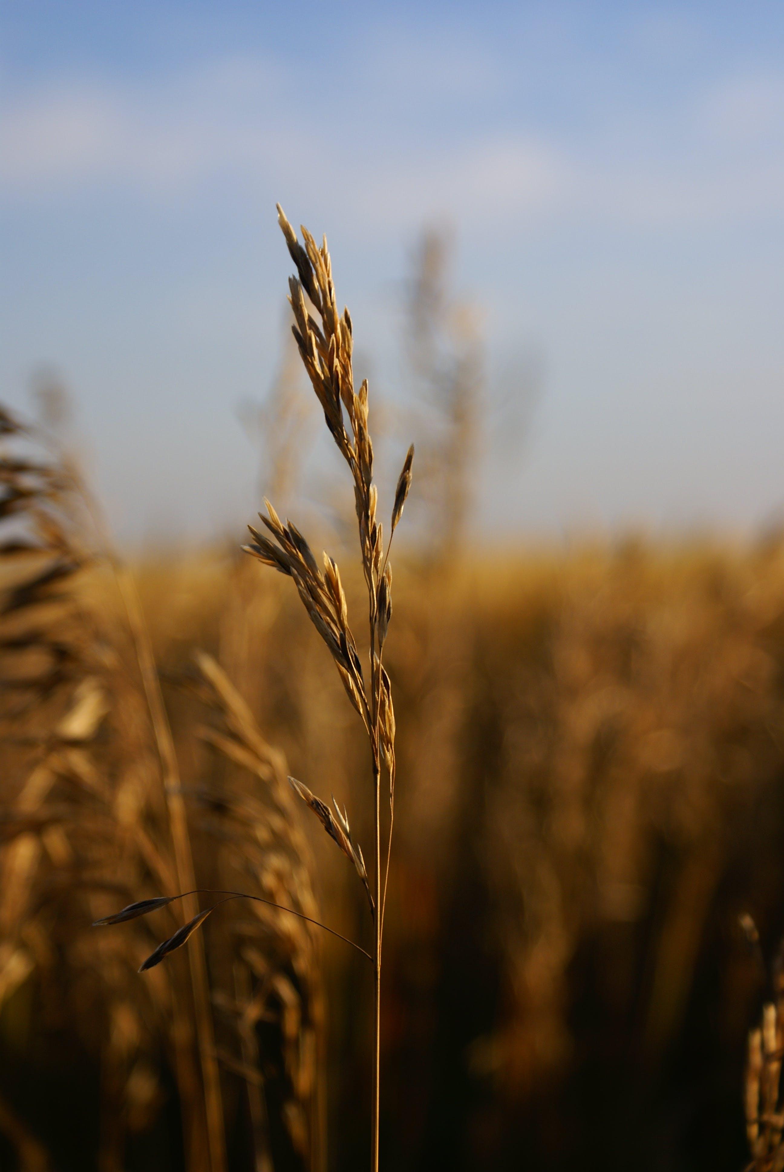 Kostenloses Stock Foto zu gras, weizengrass