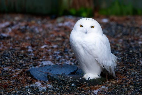 Cute snowy owl with white plumage sitting on ground with pebbles in wild nature with green plants on blurred background