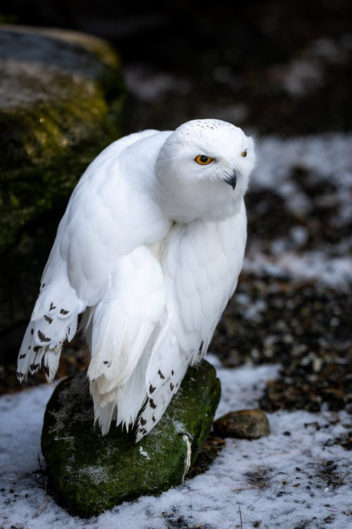 White owl in snowy nature