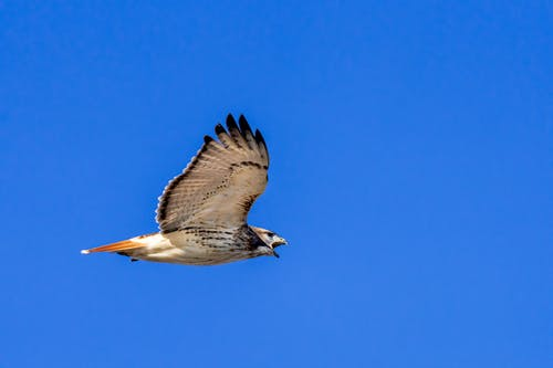 Predatory red tailed hawk with spread wings and opened beak soaring high in air against clear cloudless sky in nature in sunny weather