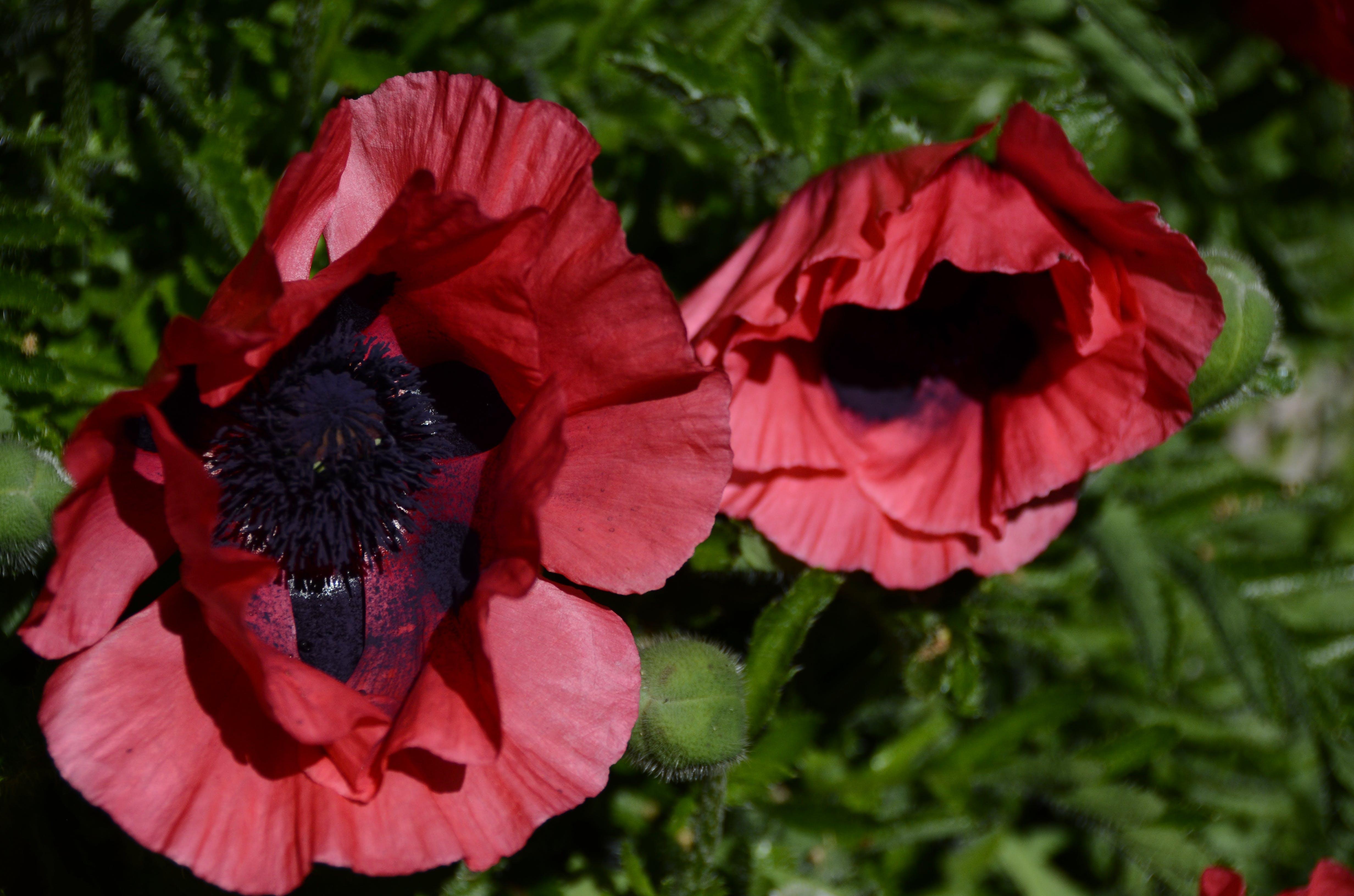 Kostenloses Stock Foto zu blumen, mohn, mohnblumen, rote blüten