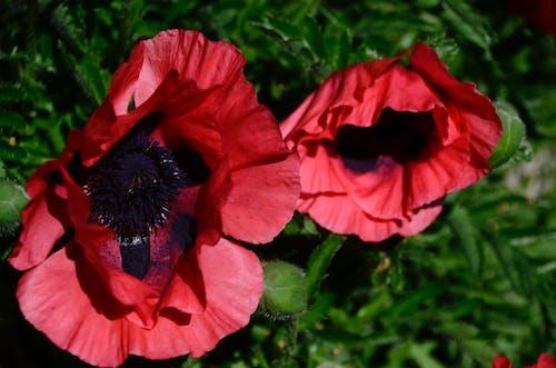 Ingyenes stockfotó mák, mákvirág, pipacsok, piros virágok témában