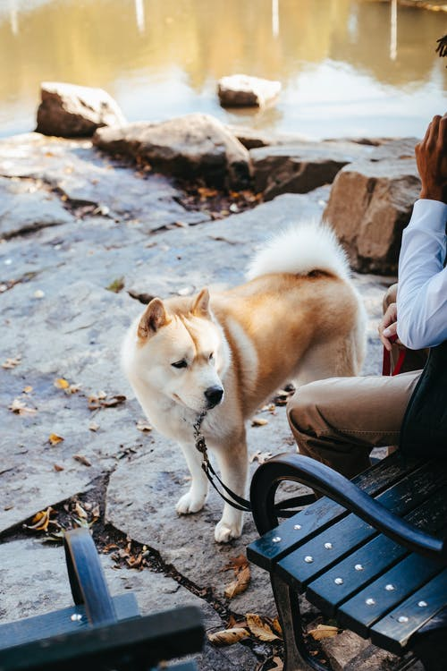 From above of adorable obedient Akita dog on leash standing near crop unrecognizable male owner resting on bench near pond in park