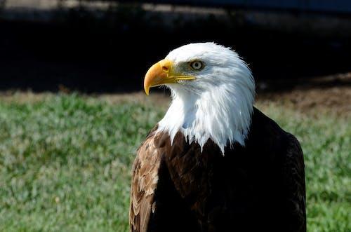 Foto d'estoc gratuïta de àguila, àguila calba, animal, au rapinyaire