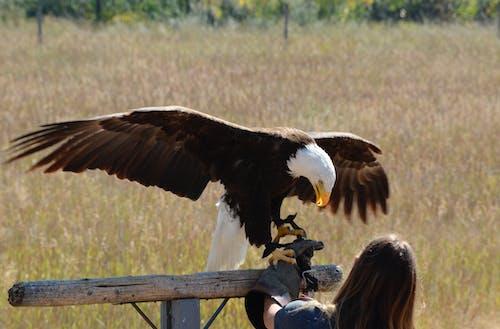Ingyenes stockfotó etetési idő, fehérfejű rétisas, ragadozó madár, sas témában