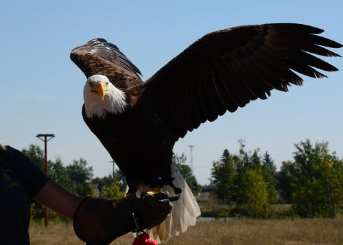 Bald Eagle on Person's Arm