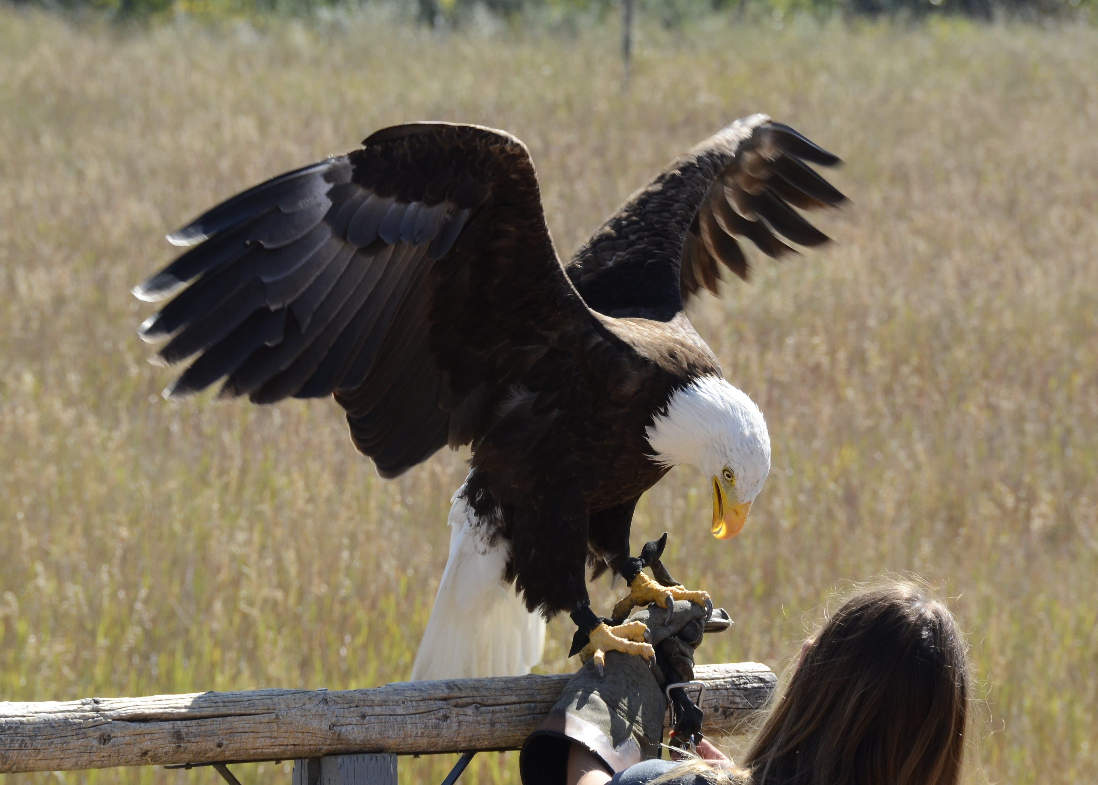 Kostenloses Stock Foto zu adler, fütterungszeit, raubvogel, weißkopfseeadler
