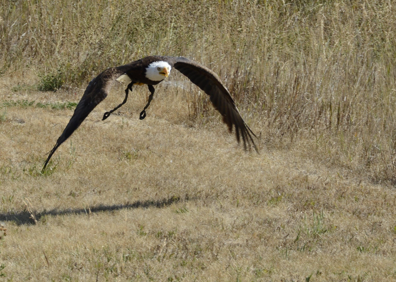 Kostenloses Stock Foto zu adler, adler im flug, raubvogel, weißkopfseeadler