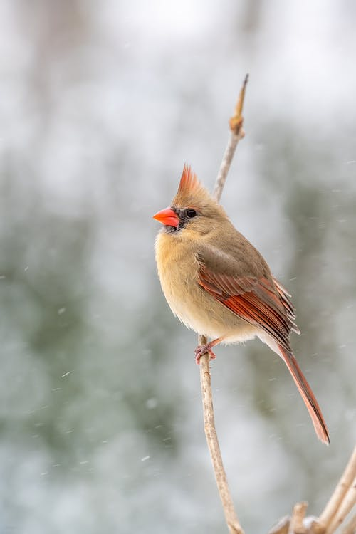 Cute common cardinal sitting on tree branch in winter forest