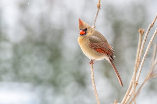 Small common cardinal bird with red beak sitting on leafless tree branch and looking at camera in winter forest