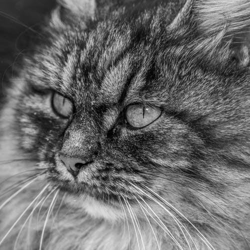 Curious young gray cat muzzle standing in dark studio and looking away attentively