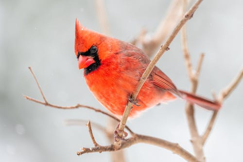 Low angle of small northern cardinal perching on leafless tree branch in natural environment