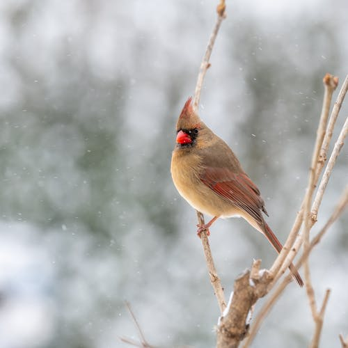 Side view of female red cardinal perching on leafless branch in winter forest