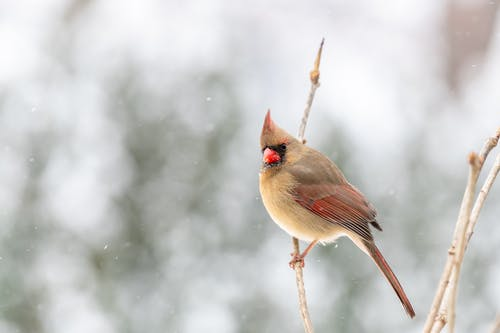Small northern cardinal on twig in snowy nature