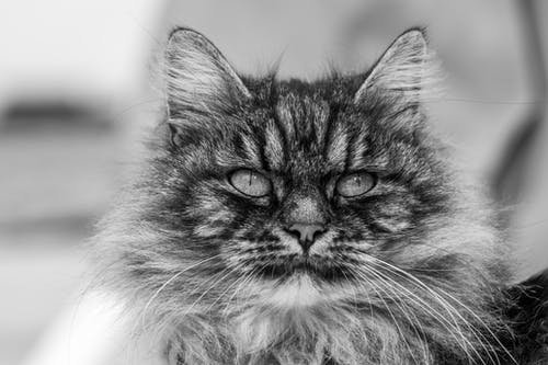Black and white fluffy cat with stripes on muzzle and long whiskers looking away