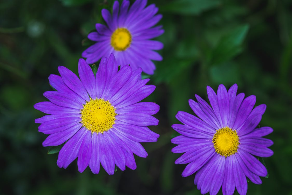 Blooming violet asters growing in green foliage