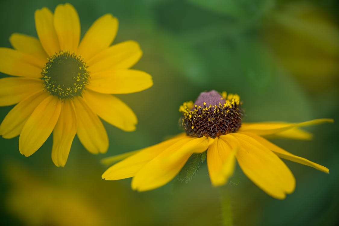 Bright vivid blooming coneflower with prominent raised central disc among bright petals in garden