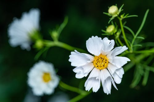 From above of white blooming kosmeya flower with delicate white petals growing in meadow