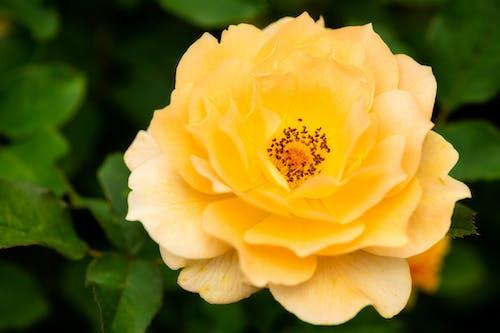 Bright blooming rose among foliage