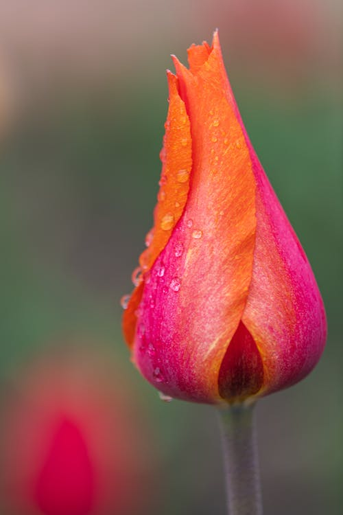 Bright bud of tulip with water drops