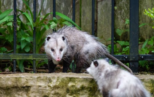 Hairy omnivore opossums with long tail and pointed faces in enclosure in zoo