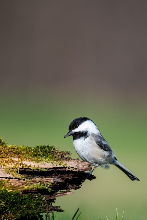 Side view of Poecile montanus bird with black plumage and head perching on wooden log covered with moss