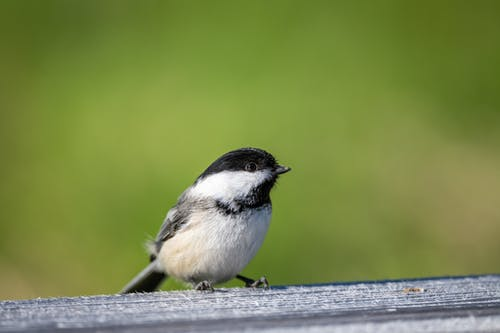 Small tit sitting on wooden board