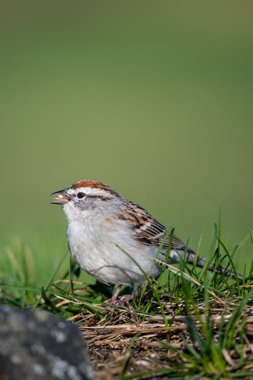 Small chipping sparrow on green grass
