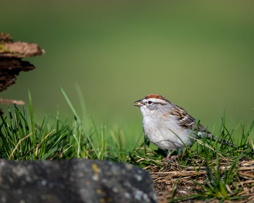 Side view of chipping sparrow eating seed perching on grassy meadow in natural environment