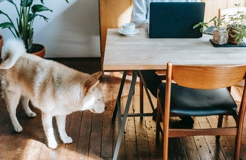 High angle of curious cute Akita Inu dog standing on parquet floor near crop anonymous owner working distantly on laptop sitting at table with cup of coffee and potted plants