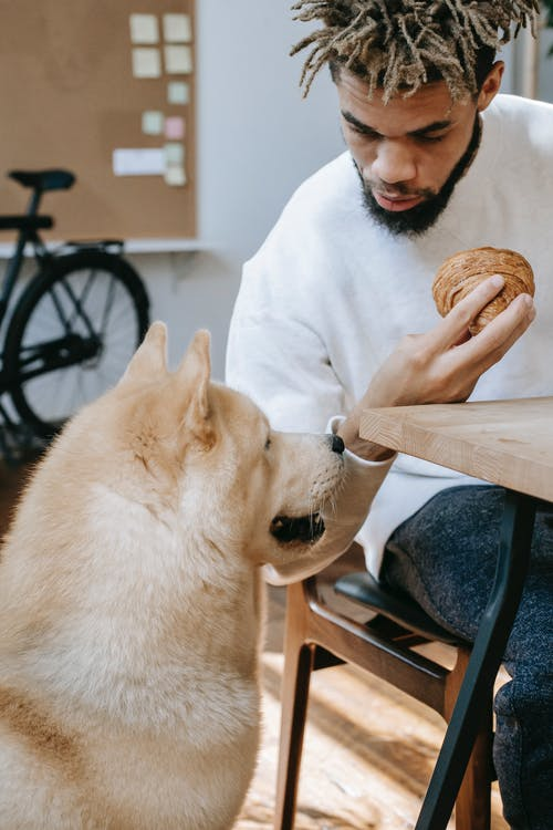 Curious fluffy Akita Inu dog sitting near crop young African American male owner having breakfast with croissant at table in kitchen