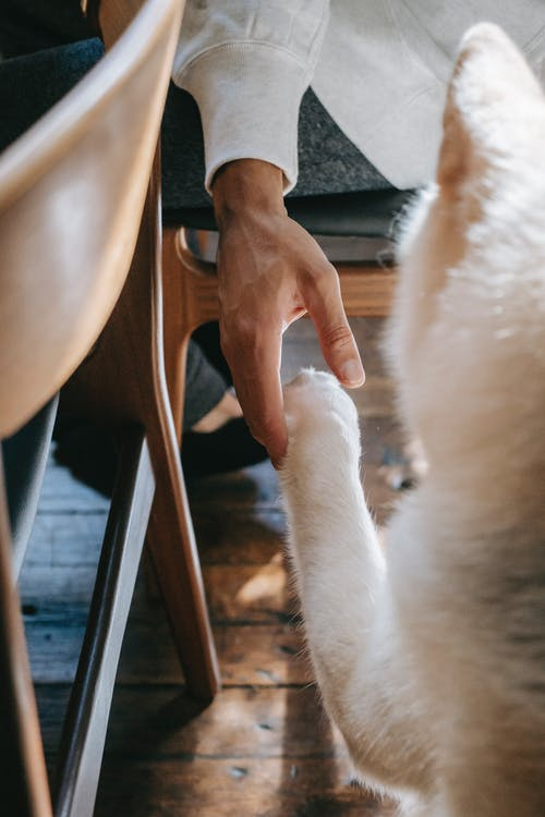 From above of crop unrecognizable male holding paw of adorable loyal Akita Inu dog while sitting on chair at home