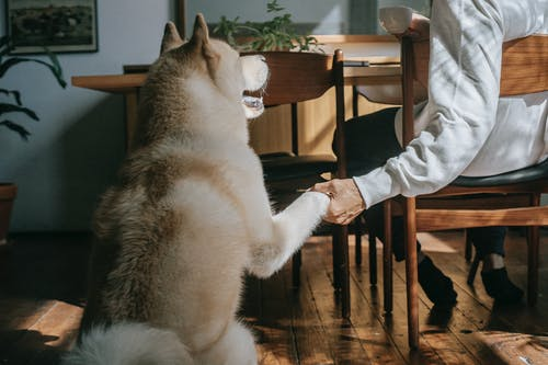 Back view of adorable Akita Inu dog giving paw to crop anonymous male owner sitting at table and drinking coffee at home