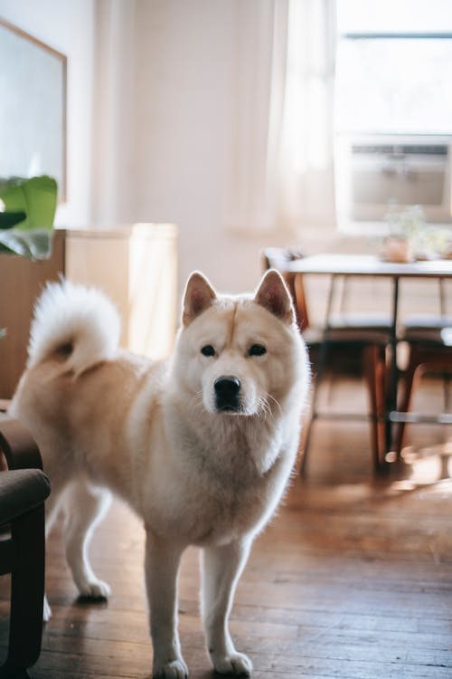 Adorable fluffy obedient Akita Inu dog on blurred background of spacious living room in daytime