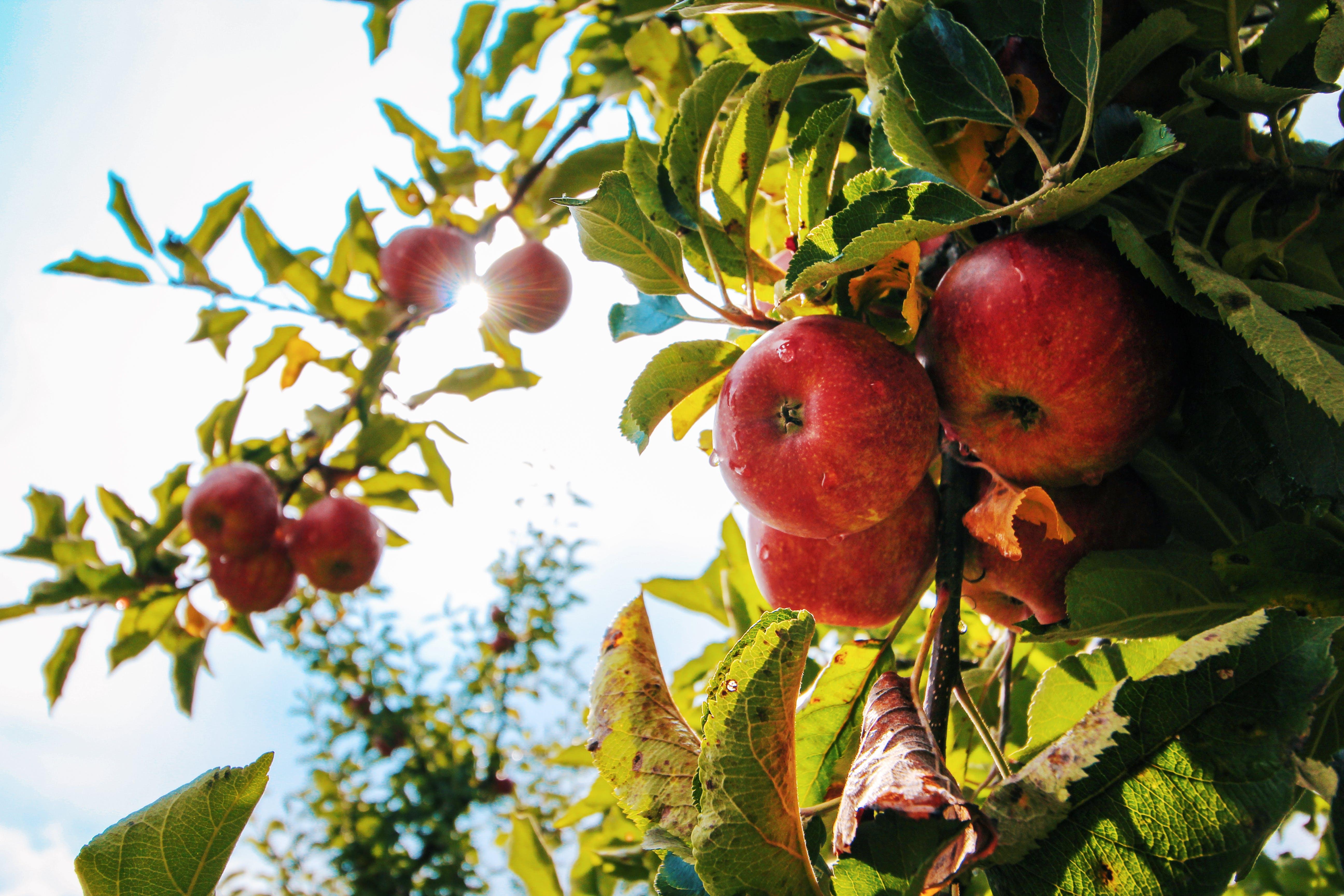albero, apple, cibo