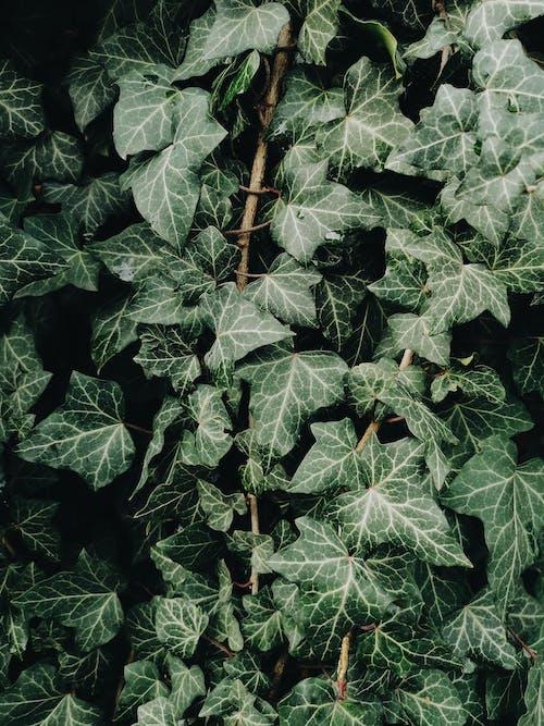 관념적인, 나뭇잎, 녹색, 담쟁이덩굴의 무료 스톡 사진