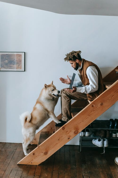 Side view full body of African American guy in casual clothes sitting on stairway in house using laptop with Akita Inu dog disturbing